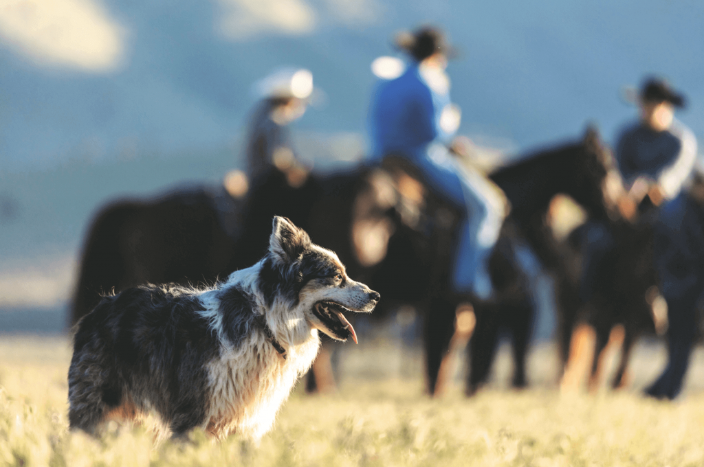 old herding cow dog with cowboys on horseback in the background