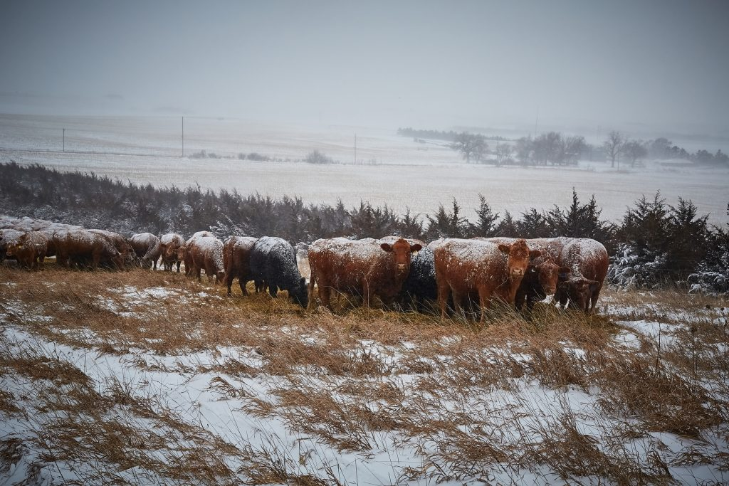 Cows in a snow covered pasture