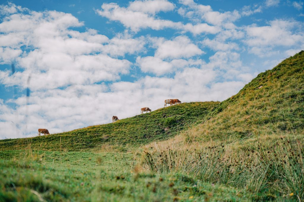 Cattle On Hill